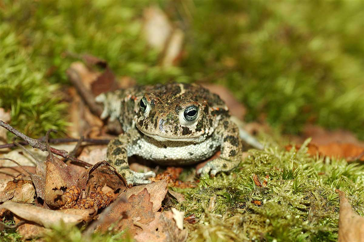 Natterjack toad , Up close photo of a frog