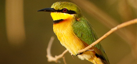 Bee eater, Bee Eater from the Gambia