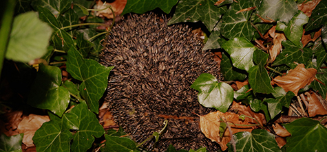 Students record hedgehogs as part of inner city wildlife scheme