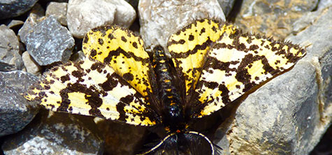 Picos edit 3, Yellow and brown butterfly