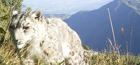 University carries out vital research into Kazakhstan snow leopards in key study