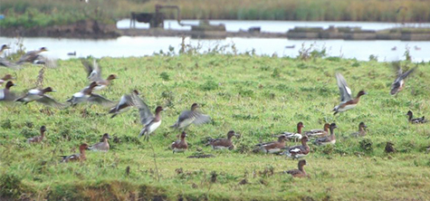'Dabbling duck' research underway at north east RSPB reserve
