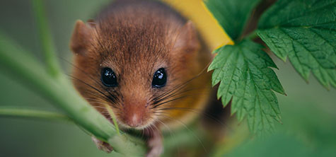 Threatened native dormouse could make northern comeback