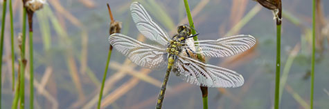 Reintroducing endangered dragonfly to south Cumbria
