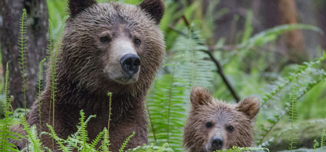 University research student brings grizzly bears to Whinlatter