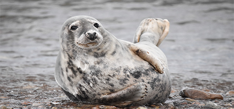 A seal at Portgordon by wildlife media student Kerri Owen, chosen to feature in university Wildlife Society's 2021 calendar (january). Picture credit: Kerri Owen