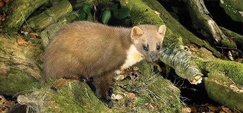Pine martens poised for a possible county comeback